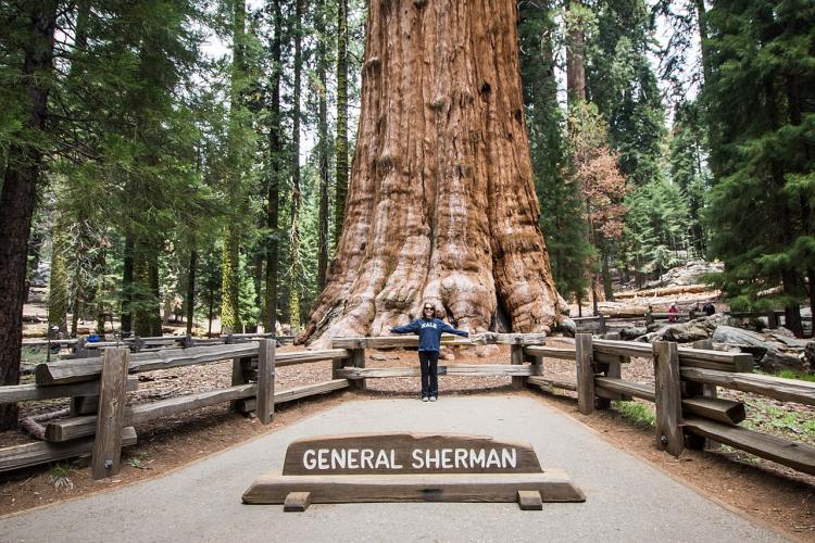 Bombeiros tentam proteger árvore milenar de incêndios florestais na Califórnia